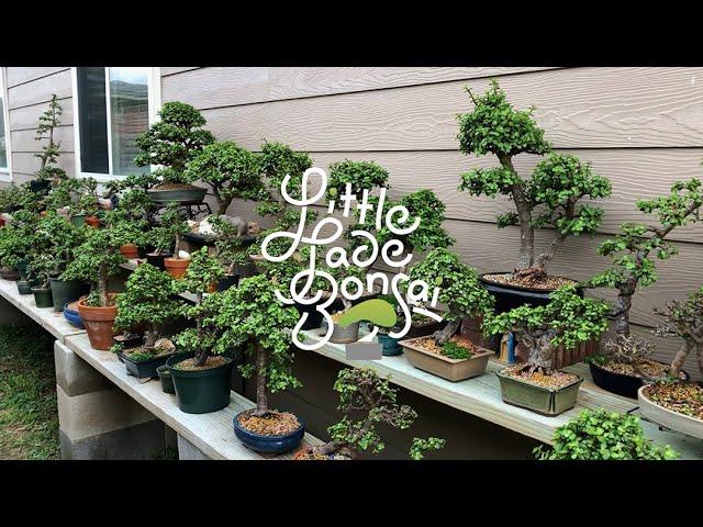 Little Jade Bonsai Partial Backyard Garden Tour of Portulacaria Afra (Dwarf Jade)
