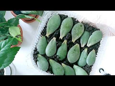 Денежное дерево из листика. Как вырастить карасулу? Толстянка.