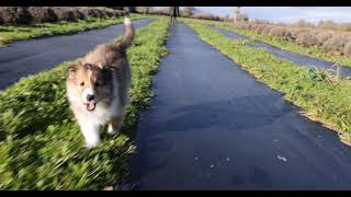Sheltie running in slomo; Mia's 2021 litter, Puppy 3