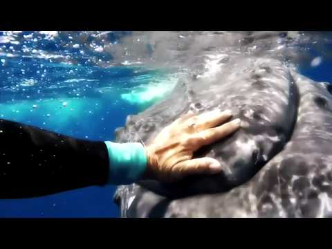 Une baleine sauve une biologiste d'un requin tigre