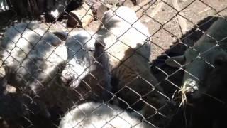 Баран | Если бы животные могли говорить