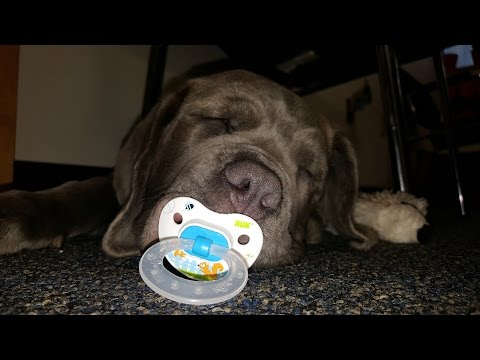 Adorable puppy with his pacifier!