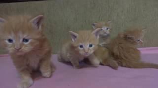 Котята Мейн кун , рыжие мимимишки