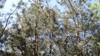 Сосновый бор, пение птиц, шум ветра