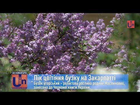 Пік цвітіння бузку на Закарпатті