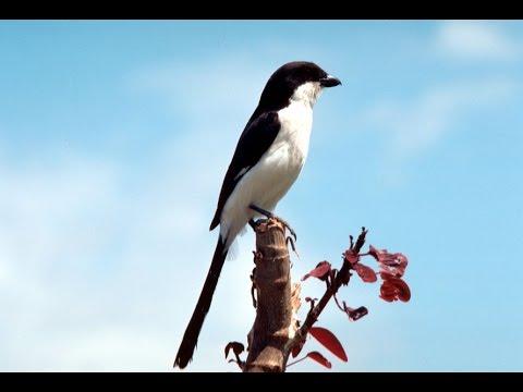 Masteran Burung CENDET MADURA KEPALA HITAM - Gacor Full Isian