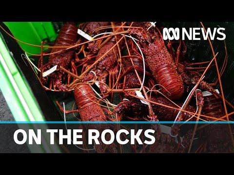 Coronavirus export ban putting strain on Australian rock lobster industry | ABC News