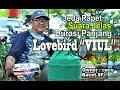 Ancaman Baru Kelas Lb Konslet Lovebird Viul  Mp3 - Mp4 Download