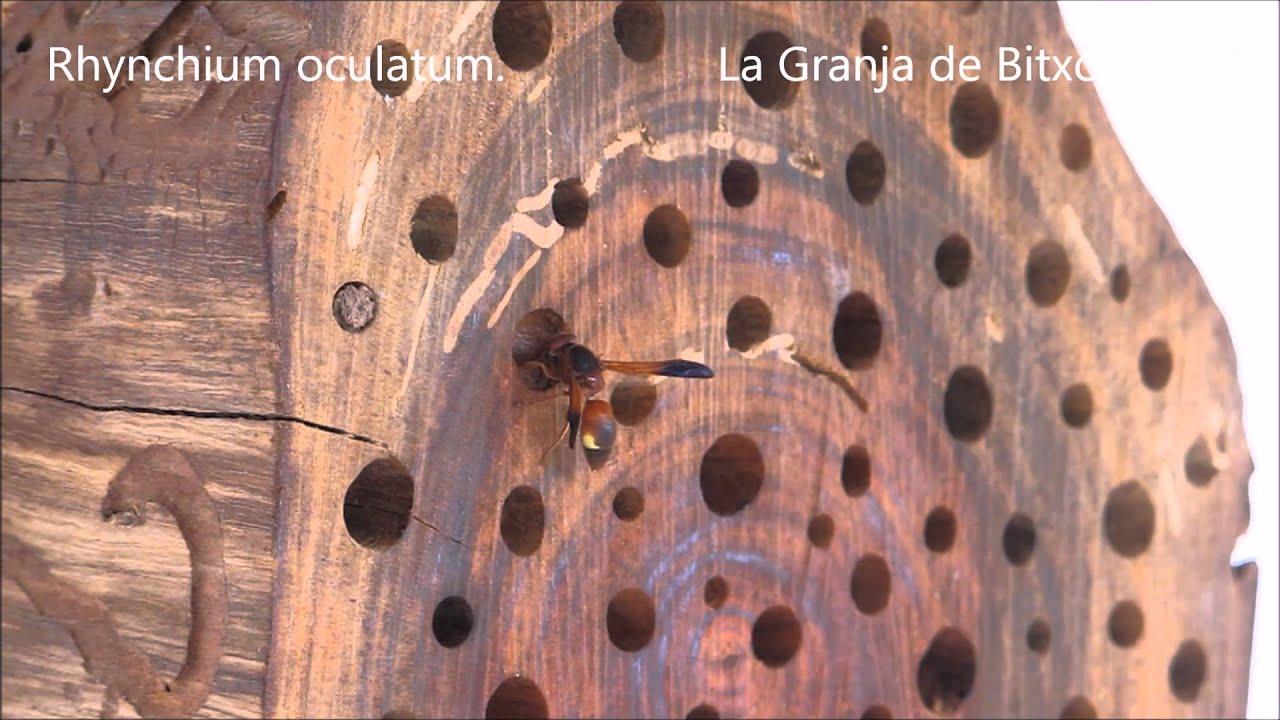 """Download """"HOTEL"""" DE INSECTOS 1: Avispas solitarias (Rhynchium oculatum) cazadoras de orugas."""