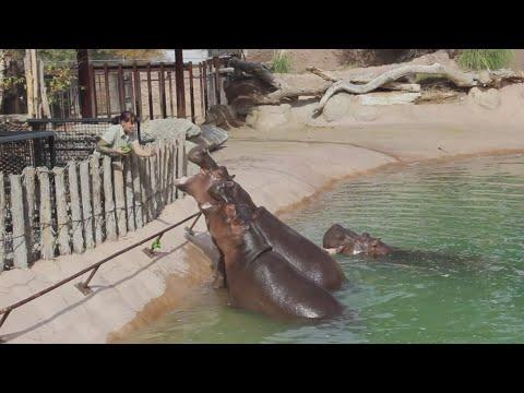 Zoo prepares to move 1,200 lb. hippo to Texas