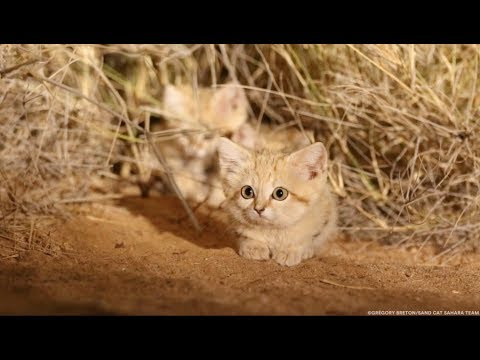 Sand Cat Kittens Spotted in the Wild for First Time and Captured on Camera