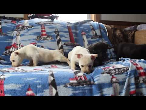 West Highland Terrier Mix Puppies For Sale