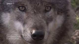 Die Rückkehr der Wölfe | Landesschau Baden-Württemberg
