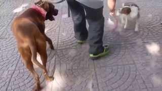 Cane aggressivo vs Pit Bull da combattimento