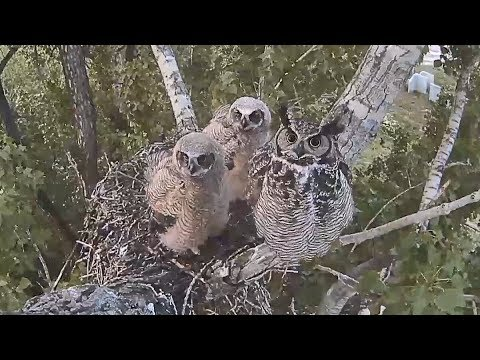 170526 Great Horned Owl - Half Hour Before Each Goes Off