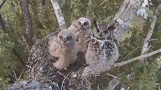 170526 Great Horned Owl - Half Hour Before Each Goes Off thumbnail