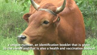 Why it is important to tag the cows in Haiti