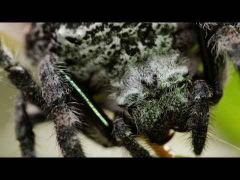 Spider Shoots 25 Metre Web - The Hunt - BBC Earth