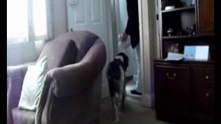 Harvey My English Springer Spaniel!♥