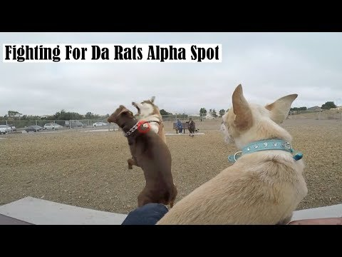 Insanely Aggressive Chihuahua IGNORES the FEMALES! Barking Rat