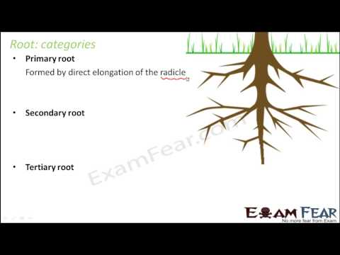 Biology Morphology of Flowering Plants part 2 Root   Categories & Function CBSE class 11 XI