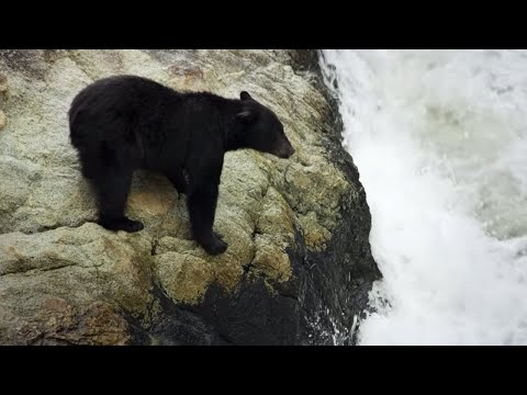 Bear's EXTREME Salmon Fishing | BBC Earth