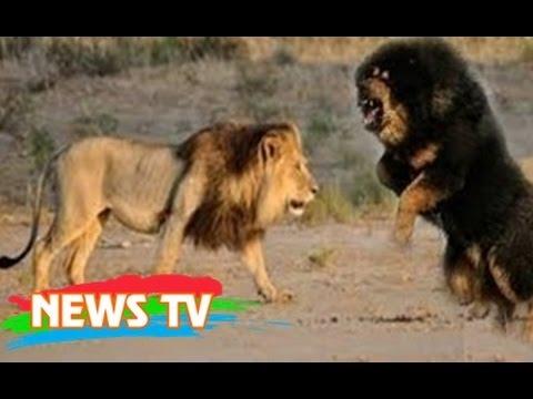 Ngao Tây Tạng đánh thua chó già trụi lông và bài học đắt giá cho chúng ta: [News TV] - Ngao Tây Tạng được coi là siêu khuyển, kẻ mạnh nhất trong các loài chó thế nhưng tại sao lại đánh thua 1 con chó già trụi lông?   Các bạn hãy cùng New TV xem câu chuyện dưới đây nhé!  Nguồn: http://ouo.io/HJGeor  ------Channel---------- News TV: https://www.youtube.com/Neews?sub_confirmation=1 OV Đại Bàng: https://www.youtube.com/channel/UCb-JuIJvT3g7Fqhpf91eaNw?sub_confirmation=1 Huyền Bí TV: https://www.youtube.com/HuyenbiTV?sub_confirmation=1 Top Manga: https://www.youtube.com/TopMangaTV?sub_confirmation=1 Showbiz Plus: https://www.youtube.com/ShowbizPlusTV?sub_confirmation=1  ------Website---------- Website: http://TheGioiNgamTV.blogspot.com Website: http://NeewsChannel.blogspot.com Website: http://HuyenBiTV.blogspot.com Website: http://vnShowbizPlus.blogspot.com Website: http://TopMangaTV.blogspot.com  Fanpage: https://www.facebook.com/NeewsThongtinChonloc