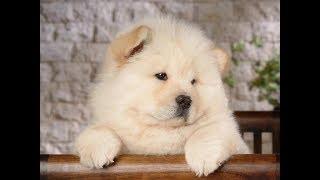 Смешные чау-чау - милые собаки для всей семьи