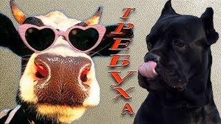 Собака Кане Корсо собака любит требуху. #canecorso
