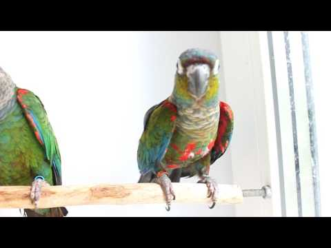 Пирруры перлата и липида. Crimson bellied conure and pearly conure. Pyrrhura perlata & lepida