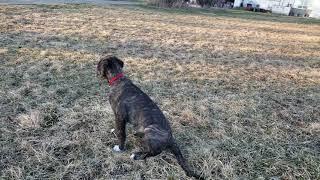 Gypsy 12 week old Irish Wolfhound puppy. April.2019