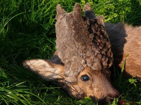 Deformed Deer Spotted In Sweden Has A Bizarre Cactus Like Growth On Its Face