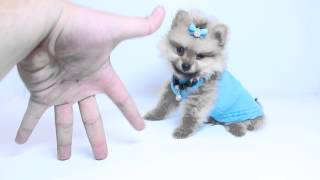 Fluffy Tiny Teacup Pomeranian Puppies By Puppyheaven.com