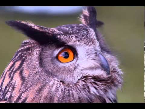 Owl Facts - Facts About Owls - YouTube