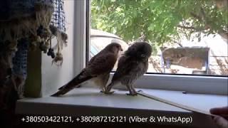 18.08.17 Сокол ПУСТЕЛЬГА и ДОМОВЫЙ СЫЧ:))) Kestrel Falcon and Little Owl