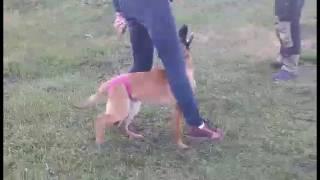 Обучение собак на пансионе с Алексом Вяткиным, Vyatkins' Armada, возраст 5 мес.
