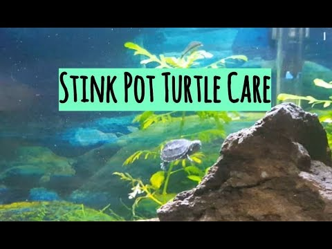 Common Musk Turtle (Stinkpot Turtle) Care And Tank Set Up