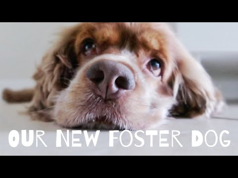 【保護犬】Vログ Our New Foster Dog!