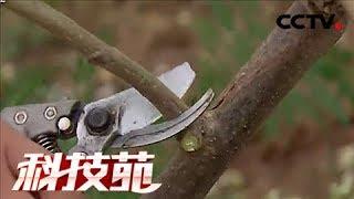 《科技苑》 20180130 剪出来的高产辣木 | CCTV农业