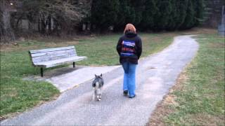 Coyote 5 Month Norwegian Elkhound Puppy Amazing Off Leash Obedience. Off Leash K9 Training