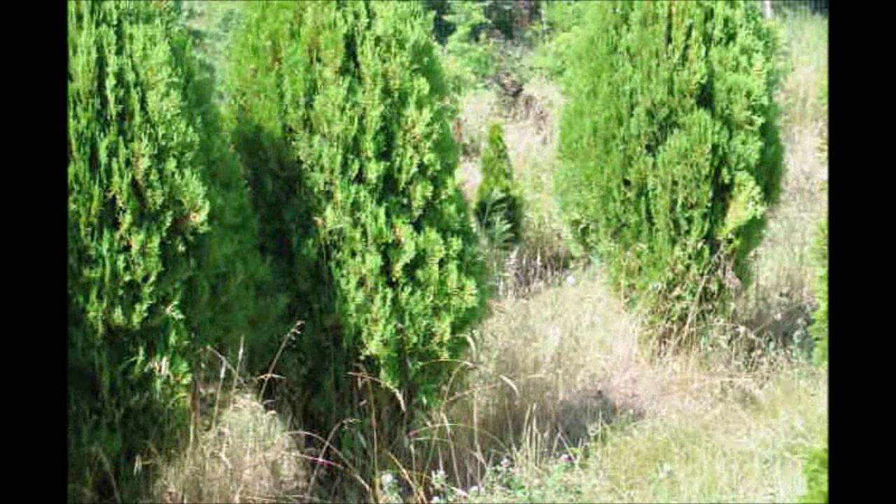 Several Types Of Arborvitae Compared Youtube