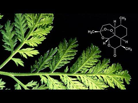 Сладък пелин ВИДЕО: Д-р Хенри Лай за видовете рак и Артемизинин