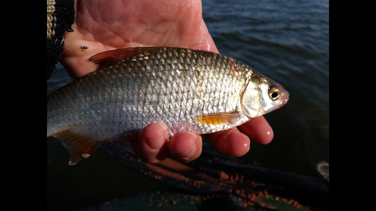 Рыбалка плотва осенью