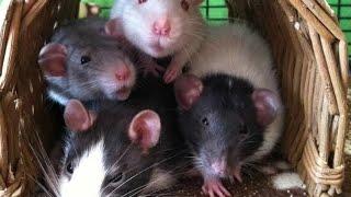 Что нужно для появления в доме крысы