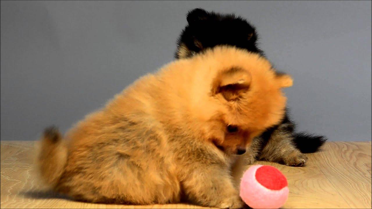 Tiny Pomeranian Playing Ball At Just Puppies Orlando Youtube