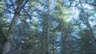 Production of High-Value White Spruce Trees