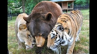 rescued-lion-tiger-and-bear-have-been-inseparable-best-friends-for-15-years