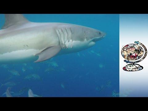 Alarm As Shark Attacks On The Rise In Australia