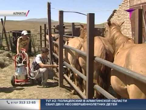 В Казахстане вывели идеальный тип лошади для приготовления казы