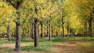 거산투어 홍천 은행나무숲 여행